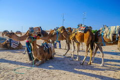 HAMMAMET, TUNISIA - Oct 2014: Dromedary Camels standing in sahara desert on October 7, 2014 Royalty Free Stock Photography