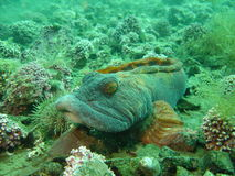 Hammelfleischfisch 1 Lizenzfreie Stockfotografie