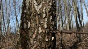 Hammer in birch trunk wooden tap for sap. Hammer in birch trunk wooden tap for  fresh sap stock video