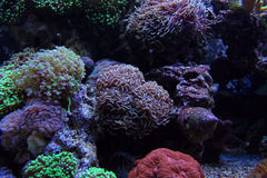 Hammer coral Stock Image