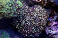 Hammer LANGSPIELPLATTEN korallenrot Stockfotos