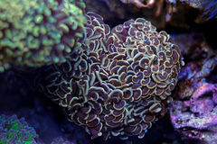 Hammer LPS Coral