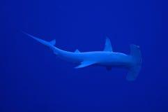 Hammerhai stockbilder
