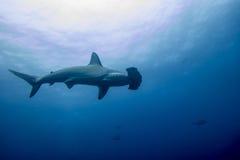 Hammerhaihaifisch malpelo Insel lizenzfreies stockfoto