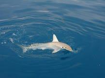 hammerhead καρχαρίας αγκιστριών στοκ εικόνα