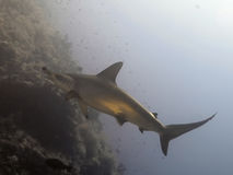 Hammerhead. In the red sea Royalty Free Stock Image