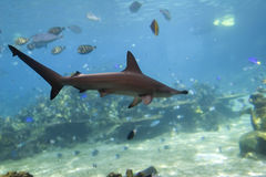 Hammerhead. Small Scalloped Hammerhead Shark (Sphyrna lewini) swimming over fish filled coral reef Royalty Free Stock Images