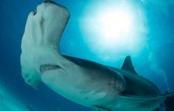 hammerhead haai in de Bahamas Royalty-vrije Stock Foto's