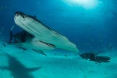hammerhead haai in de Bahamas Stock Foto