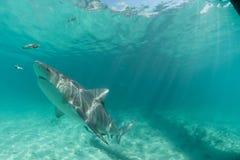 hammerhead haai in de Bahamas Stock Afbeelding