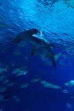 Hammerhead rekin w pionowo widoku Zdjęcia Royalty Free