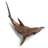 Hammerhead shark Royalty Free Stock Photo