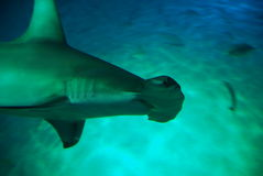 Hammerhead Shark Stock Images