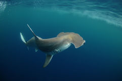 Hammerhead Shark. In its natural habitat in the ocean Stock Images