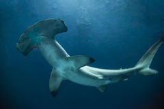 Hammerhead Shark. One hammerhead shark from below stock images