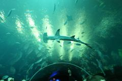 HAMMERHEAD SHARK. In the aquarium Royalty Free Stock Photo