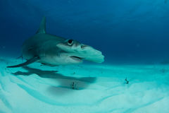 Hammerhead shark in Bahamas. Underwater picture Royalty Free Stock Photos