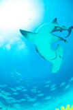 Hammerhead shark in Bahamas. Underwater picture Royalty Free Stock Photo