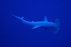 Hammerhead. A hammerhead shark circling the divers in a wide arc Stock Images