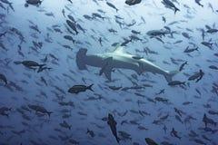 Hammerhead Shark. With fish, Galapagos Stock Image
