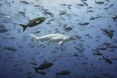 Hammerhead Shark. In fish swarm, Galapagos Royalty Free Stock Photos