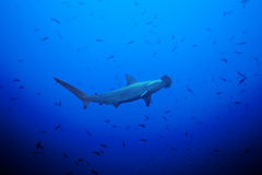Hammerhead shark in the large school of small fish Royalty Free Stock Photo