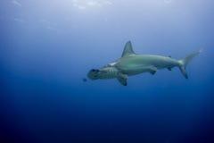 Hammerhead shark malpelo island. A hammerhead shark in malpelo island Colombia Stock Images
