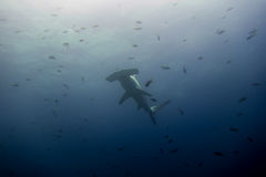 Hammerhead shark malpelo island. A hammerhead shark in malpelo island Colombia Stock Photography
