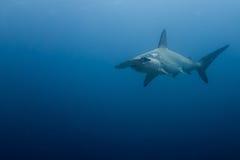 Hammerhead shark malpelo island. A hammerhead shark in malpelo island Colombia Royalty Free Stock Photo
