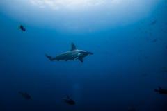 Hammerhead shark malpelo island. A hammerhead shark in malpelo island Colombia Royalty Free Stock Photos