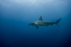 Hammerhead shark malpelo island. A hammerhead shark in malpelo island Colombia Royalty Free Stock Image