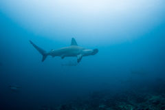 Hammerhead shark malpelo island. A hammerhead shark in malpelo island Colombia Royalty Free Stock Images