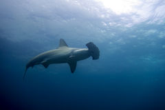 Hammerhead shark malpelo island. A hammerhead shark in malpelo island Colombia Stock Photos