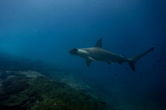 Hammerhead shark malpelo island. A hammerhead shark in malpelo island Colombia Royalty Free Stock Photography