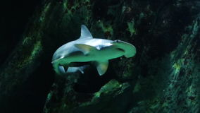 Hammerhead Shark Swimming Underwater Royalty Free Stock Images