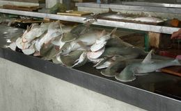 Hammerhead sharks. Some hammerhead sharks on a fish market in Campeche (Mexico royalty free stock image