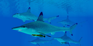 Hammerhead Sharks Royalty Free Stock Images