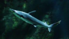 Hammerheadhaai Onderwater Zwemmen stock footage