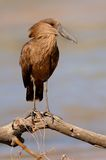 Hammerkop. This funny looking bird is a Hammerkop. They eat fish and frogs amongst other things Stock Photography