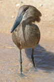 Hammerkop. A hammerkop (hammer head) bird wading in a stream Stock Image
