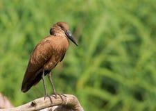 hammerkop Zdjęcia Royalty Free