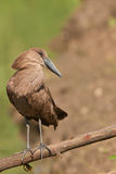 Hammerkop. Largish bird found along streams and dams Stock Images