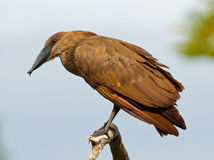 Hammerkop bird Royalty Free Stock Photography