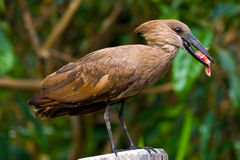 Hammerkop bird Royalty Free Stock Photo