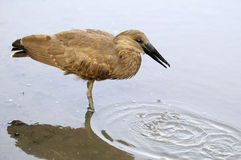Hammerkop bird Stock Photo