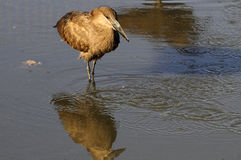 Hammerkop bird Stock Photography