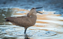 Hammerkop with fish, Botswana Stock Images
