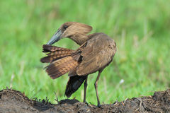 Hammerkop Preening Stock Photos