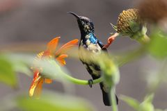 Hammingbird click. Bird sit on flower and catch the honey royalty free stock photo