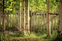 Hammock between birches like a web Royalty Free Stock Images